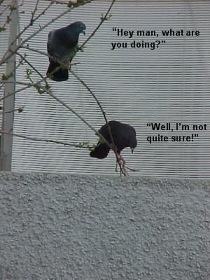 Balcony Pigeon Talent Contest Hey_ma10