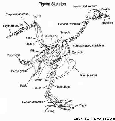 Pigeon Anatomy Pigeon14