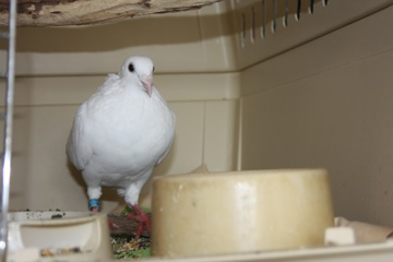 Pigeons on Cape Cod in need of finding wonderful forever homes Wildca10