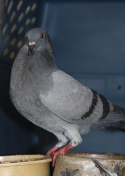 Pigeons on Cape Cod in need of finding wonderful forever homes Wildca12