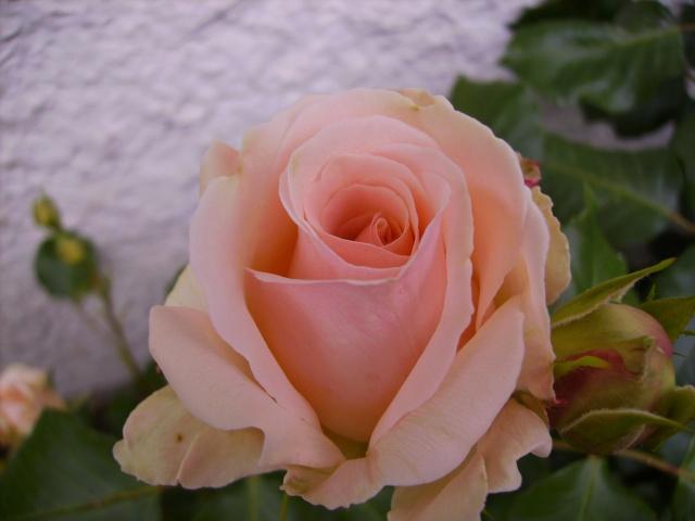 les roses de mon jardin 10_mai10
