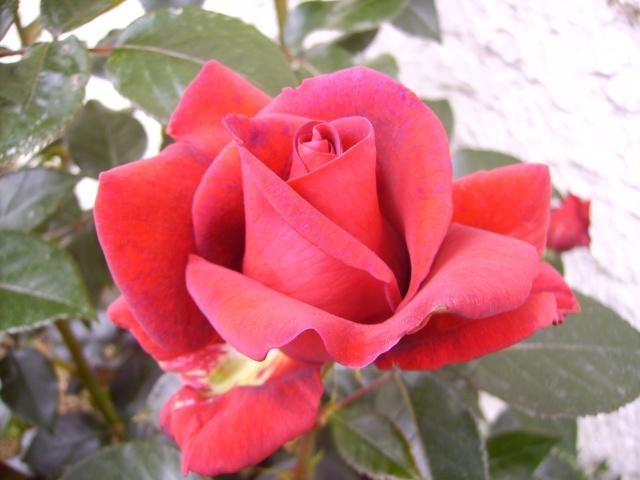 les roses de mon jardin 10_mai12
