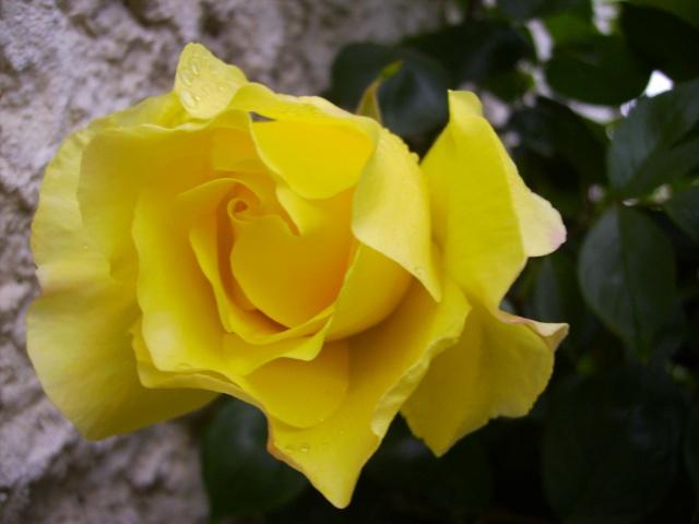 les roses de mon jardin 12_mai11