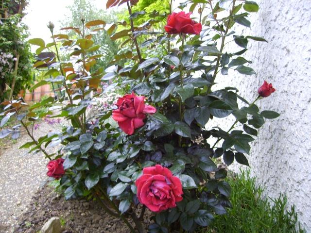 les roses de mon jardin 12_mai12