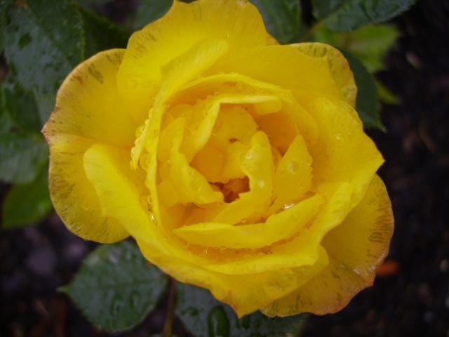 les roses de mon jardin 15_mai10