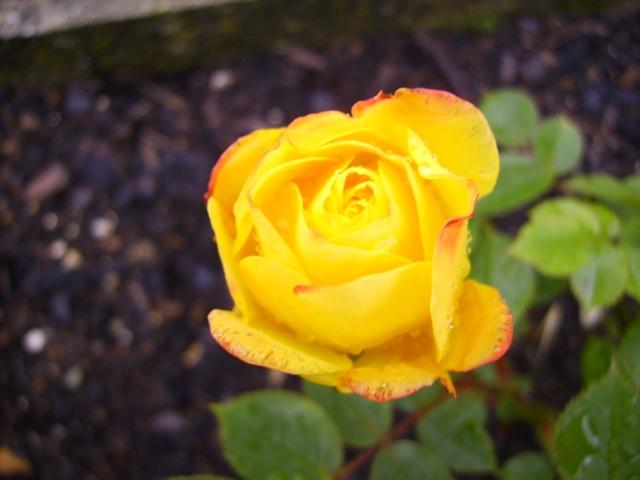 les roses de mon jardin 15_mai11