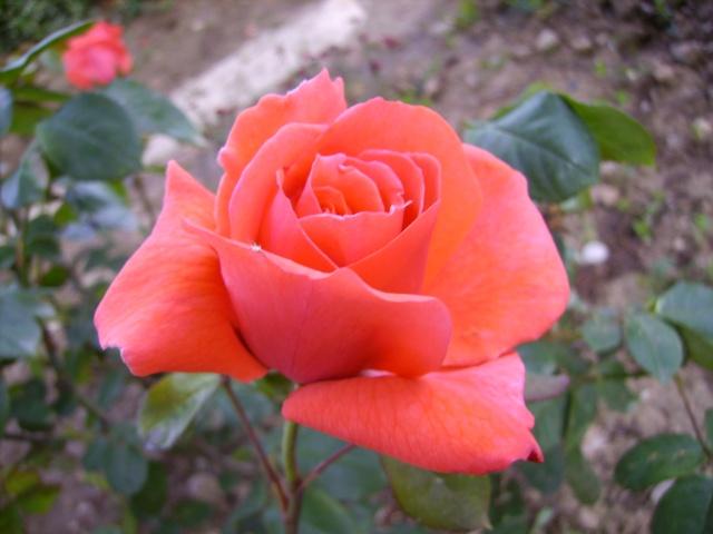 les roses de mon jardin 17_mai10