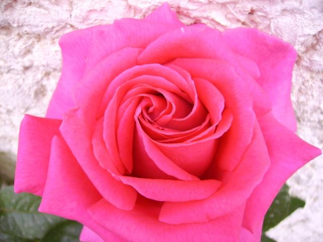 les roses de mon jardin 17_mai11