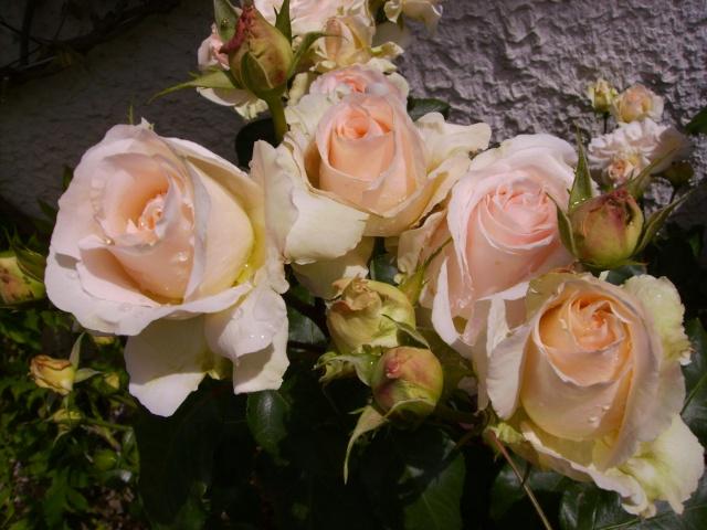 les roses de mon jardin 18_mai10