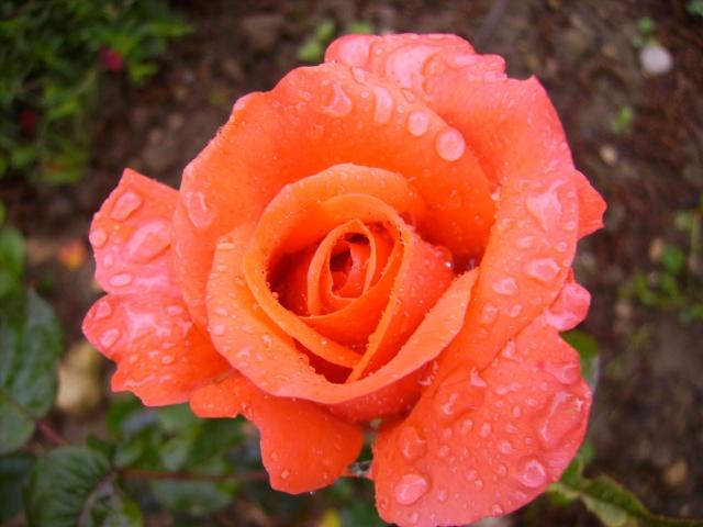 les roses de mon jardin 18_mai11