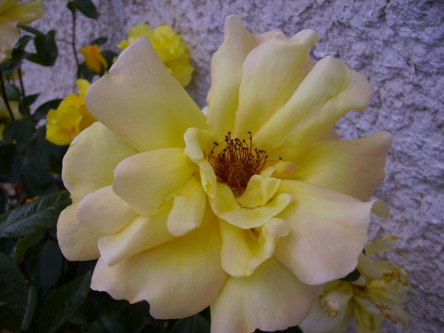les roses de mon jardin 18_mai13