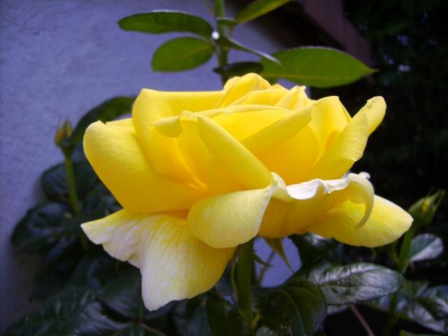 les roses de mon jardin 18_mai14