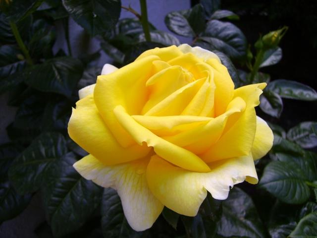les roses de mon jardin 18_mai15