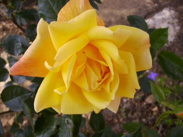 les roses de mon jardin 18_mai16