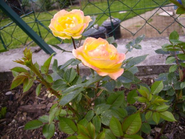 les roses de mon jardin 18_mai17