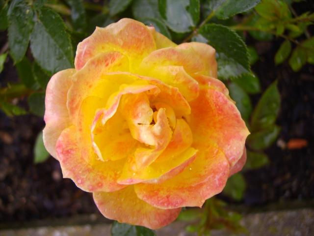les roses de mon jardin 18_mai18