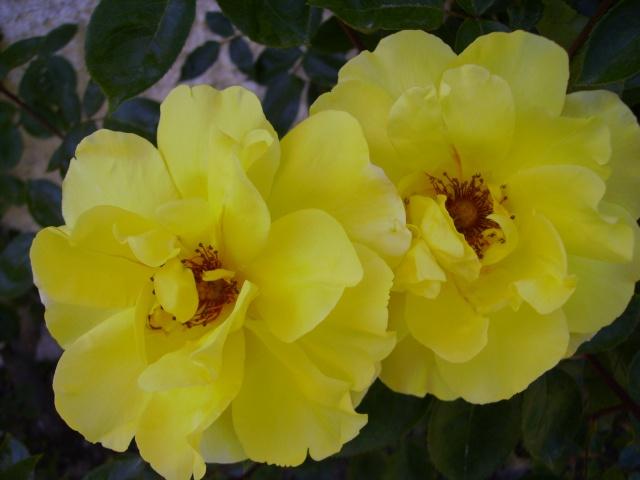 les roses de mon jardin 19_mai10