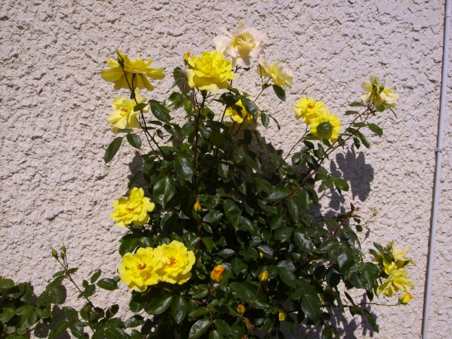 les roses de mon jardin 19_mai11
