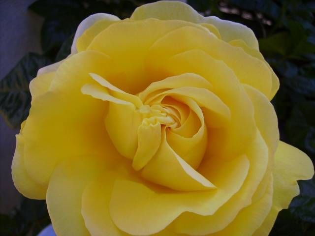 les roses de mon jardin 19_mai12