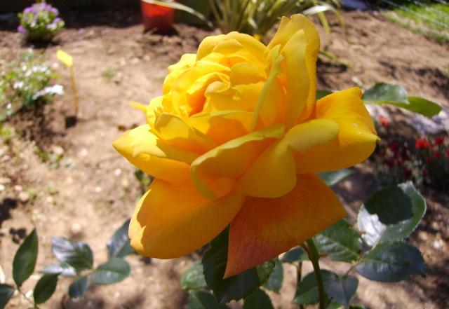 les roses de mon jardin 19_mai13