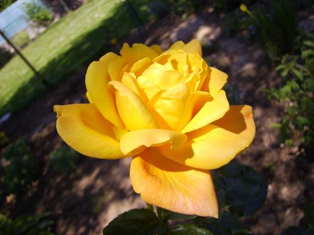 les roses de mon jardin 19_mai14