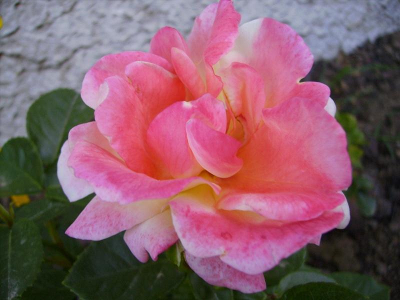 les roses de mon jardin 20_mai10