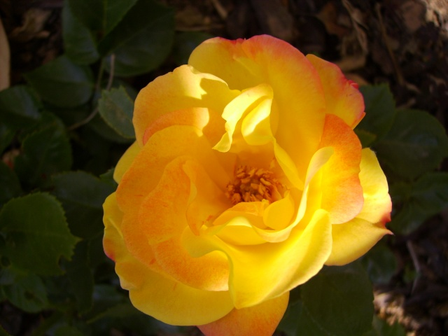 les roses de mon jardin 3_mai_10