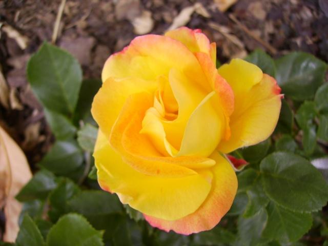 les roses de mon jardin 3_mai_12