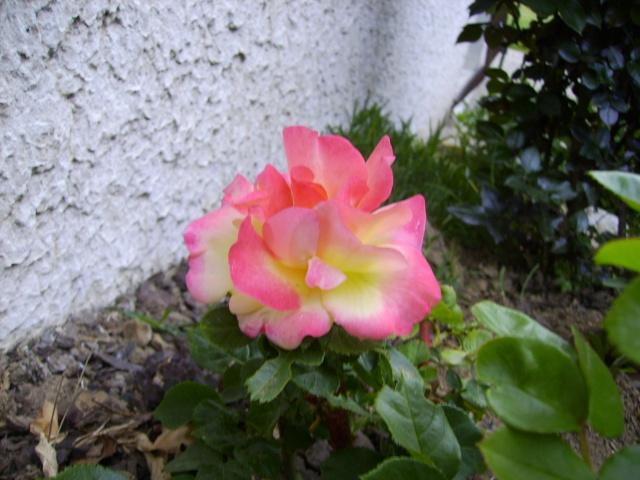les roses de mon jardin 5_mai_10