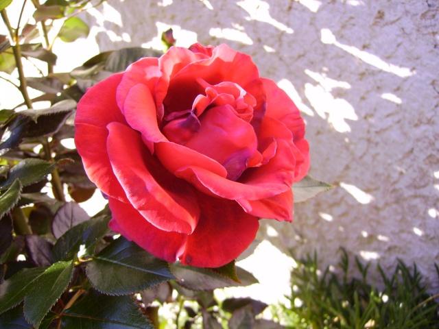 les roses de mon jardin 6_mai_10