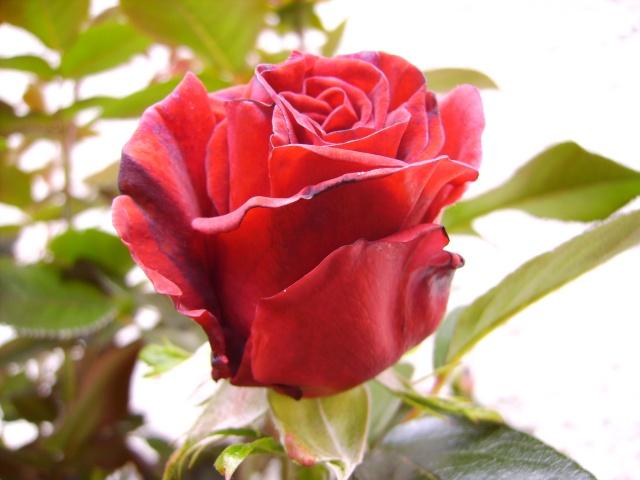 les roses de mon jardin 6_mai_11