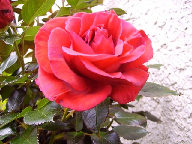 les roses de mon jardin 6_mai_12