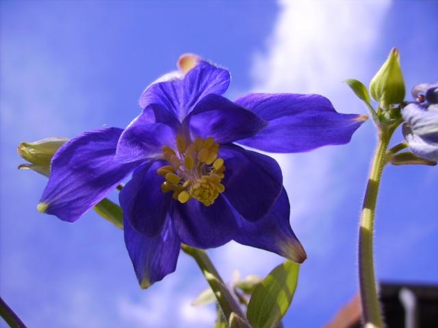 photo des plantes vivaces de mon jardin (photo du 28/04/09) Ancoli10