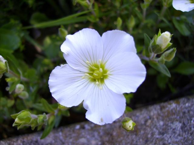 photo des plantes vivaces de mon jardin (photo du 28/04/09) Anemon11