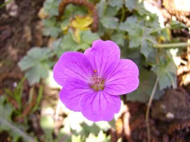 photo des plantes vivaces de mon jardin (photo du 28/04/09) Gerani11