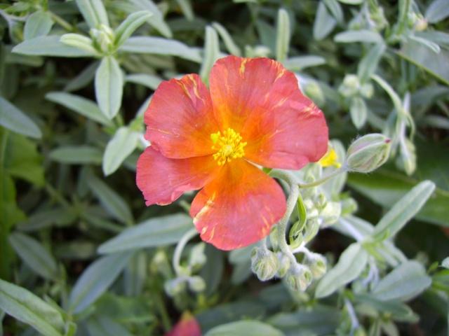 photo des plantes vivaces de mon jardin (photo du 28/04/09) Helian10