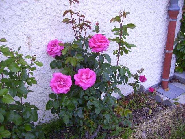 les roses de mon jardin Mai_2025