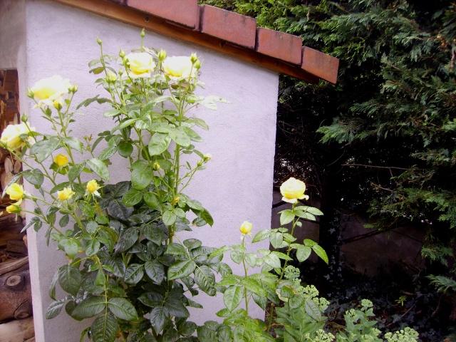 les roses de mon jardin Pict0310