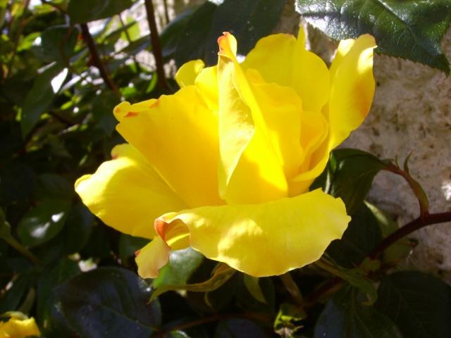 les roses de mon jardin Pict3013