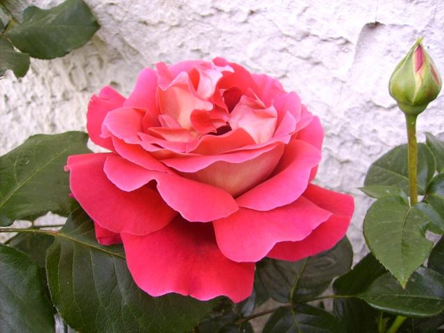 les roses de mon jardin Pict3810