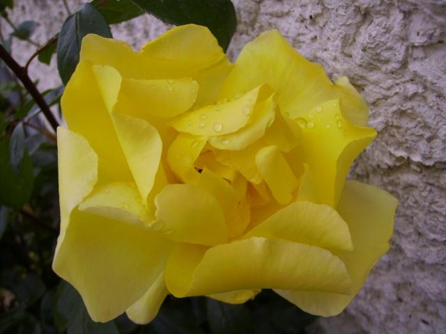 les roses de mon jardin Pict4213