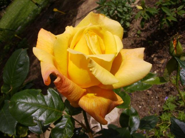 les roses de mon jardin Pict4510