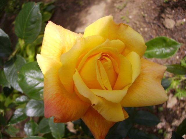 les roses de mon jardin Pict4511