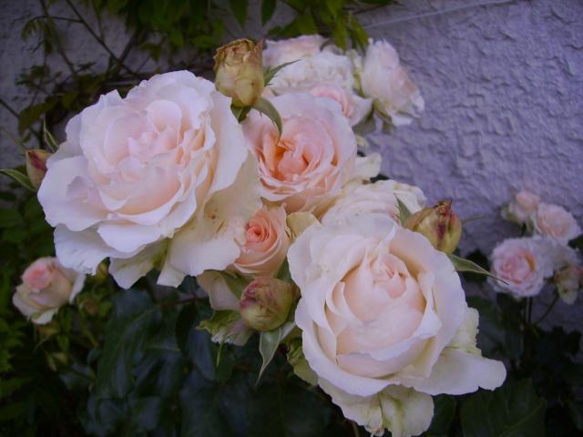 les roses de mon jardin Pict4810