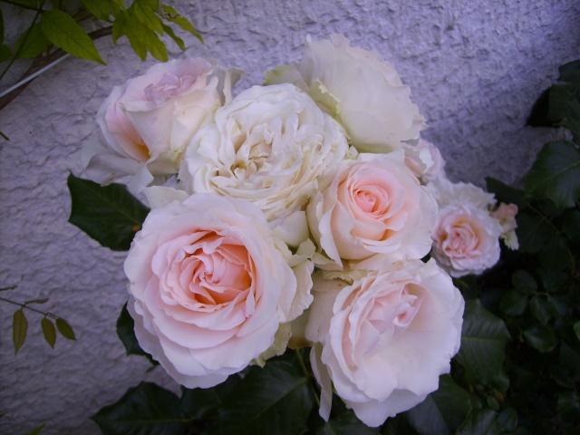 les roses de mon jardin Pict4811