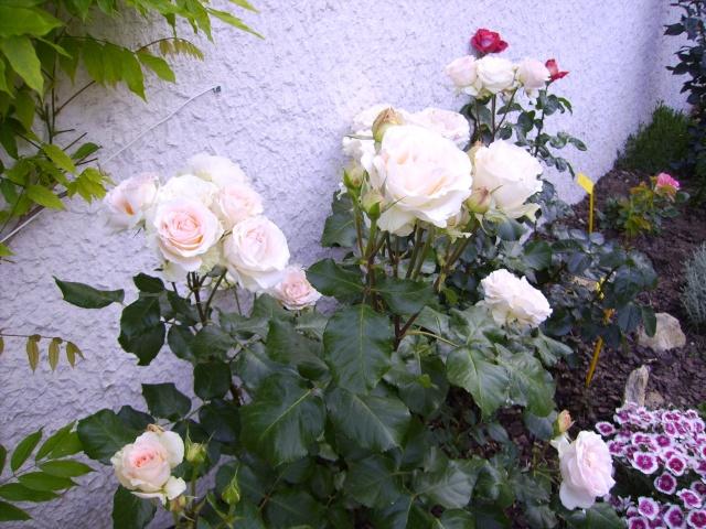 les roses de mon jardin Pict4813