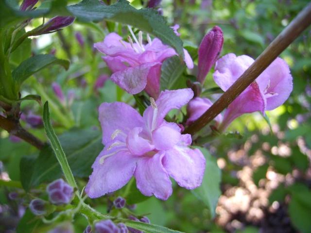 photo des plantes vivaces de mon jardin (photo du 28/04/09) Weigel10