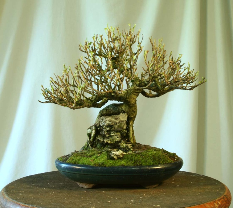 Some Indian Laurel Ficus Work 2009_010