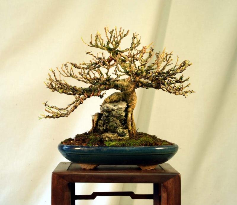Some Indian Laurel Ficus Work 2009_011