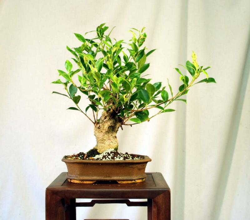 Some Indian Laurel Ficus Work 2009_014
